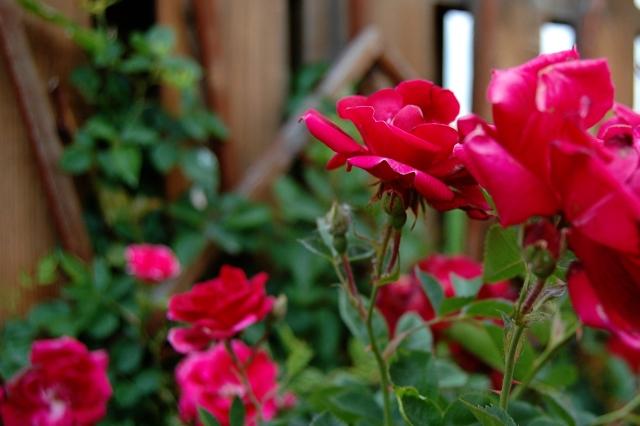 Rambling Roses